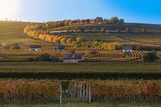 sauska-vineyard